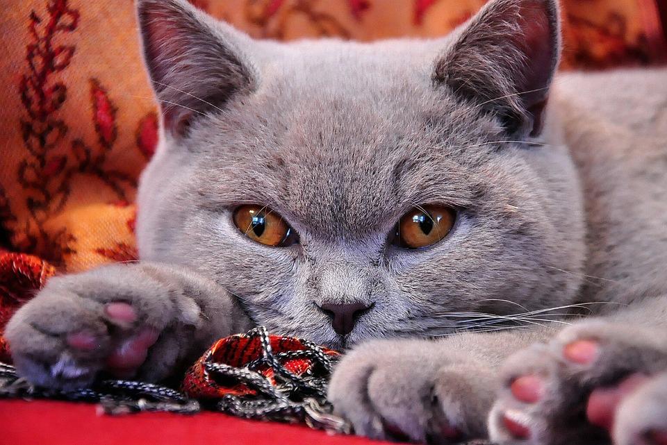 Картинки красивых кошек британец