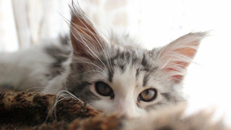 Подготовка для чистки ушей кошке