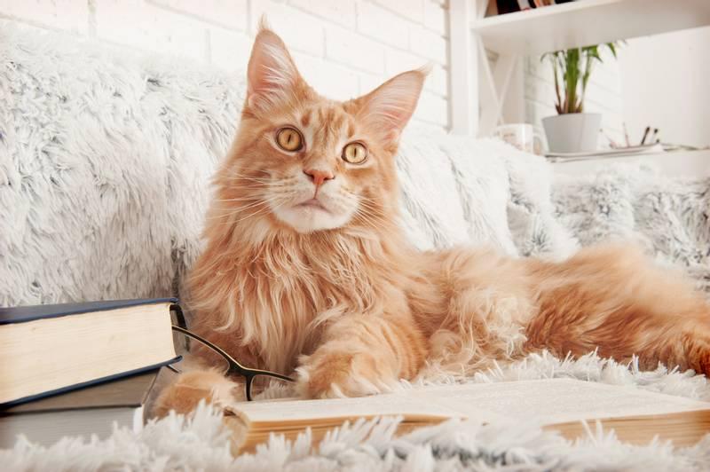 ТОП-10 самых злых пород кошек: мейн-кун