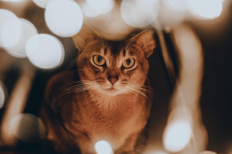 Ключевые факты об абиссинской кошке