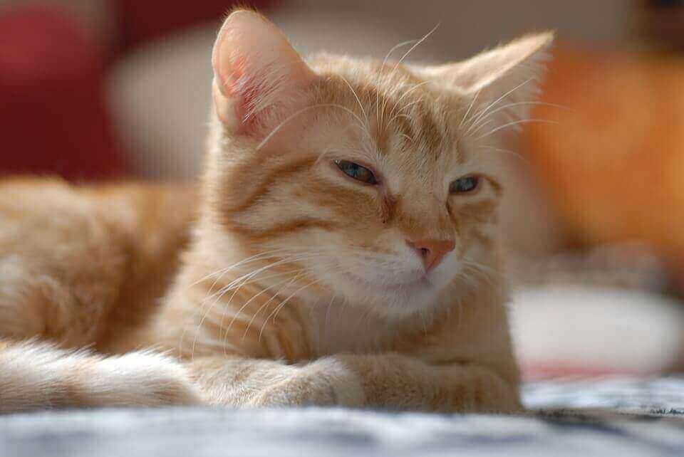 Высокая температура после укола коту внутримышечно