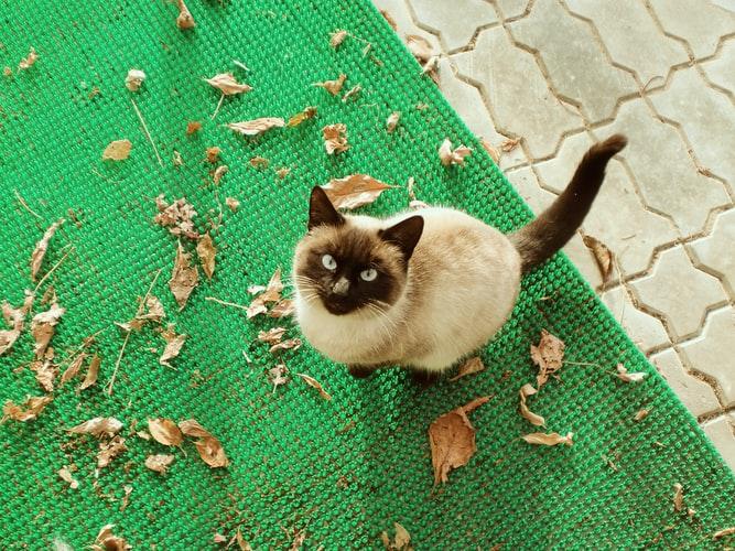 Ключевые факты о тайской кошке