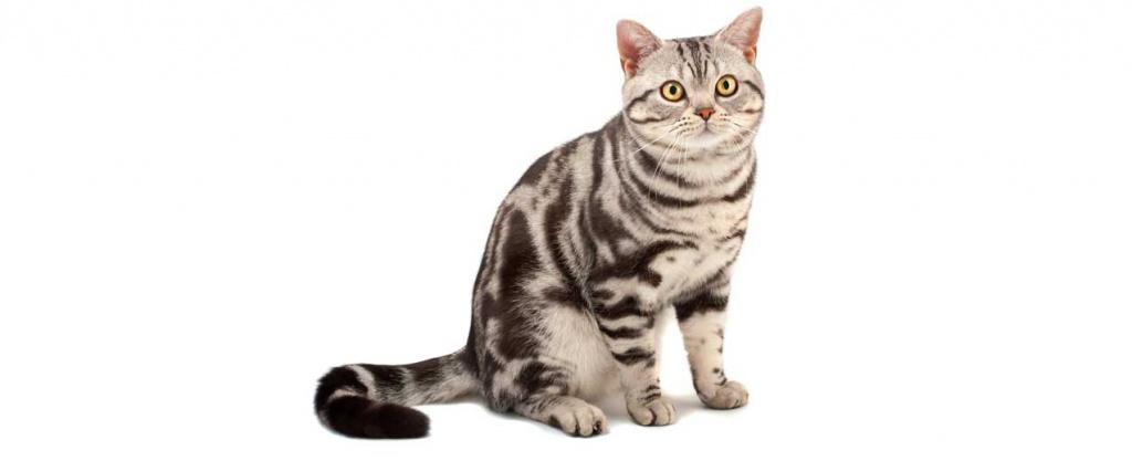 Здоровье американской короткошерстной кошки