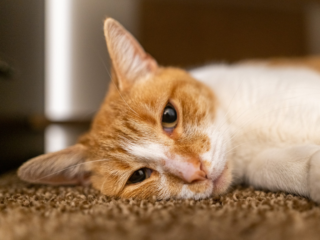 За чем нужно следить после наркоза у кошки