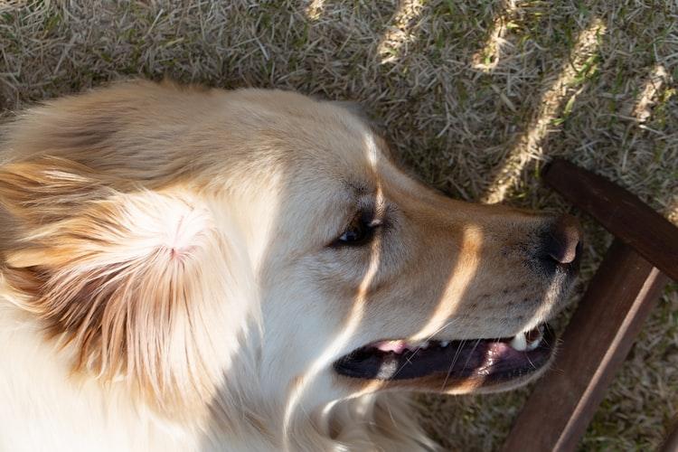 У собаки гноятся глаза при заражении глистами