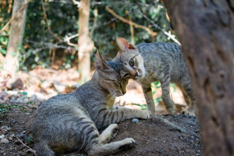 Как подружить двух котят