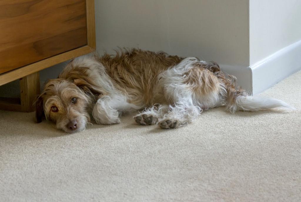 формы патологии вздутия живота у собаки