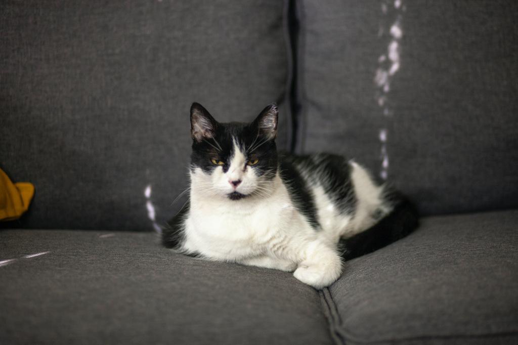 Неопасные причины твердого живота у кота