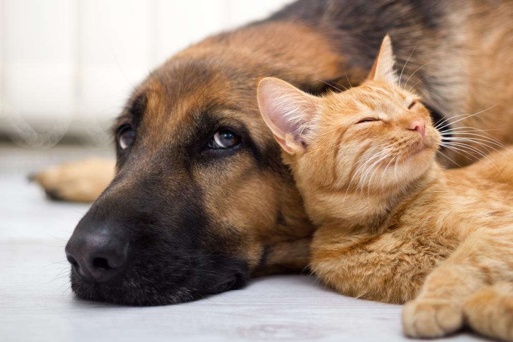 Породы кошек, которые хорошо уживаются с собаками
