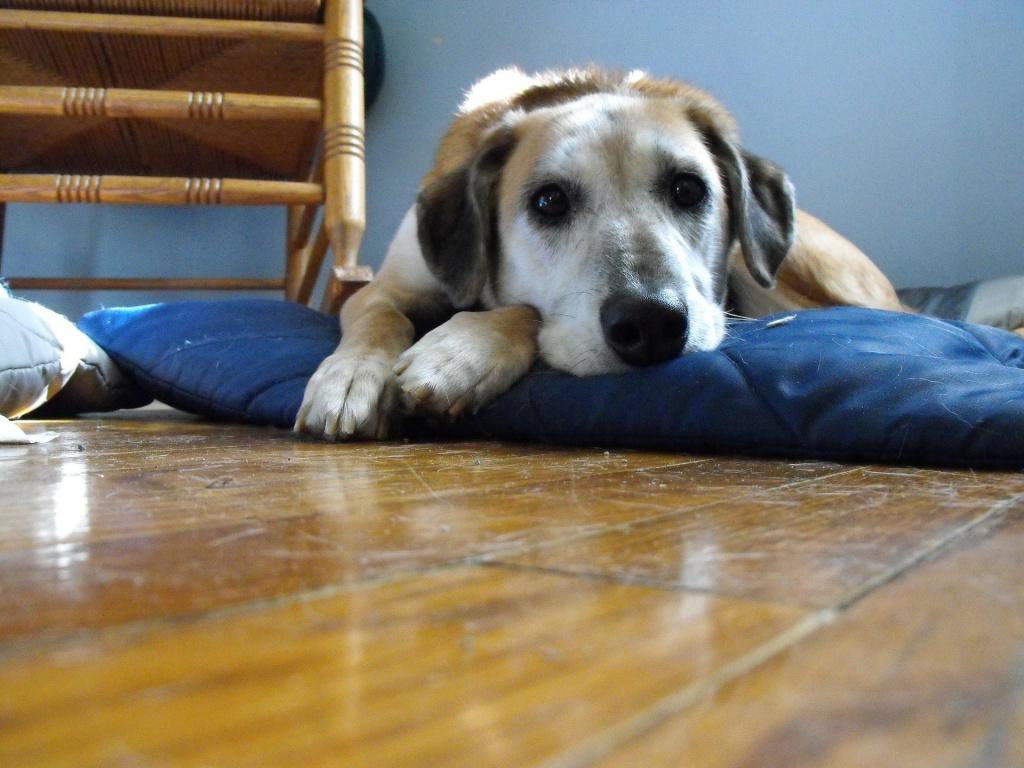 Сколько дней длится течка у собак