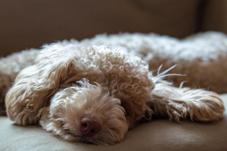Характерные состояния при ложной беременности у собак