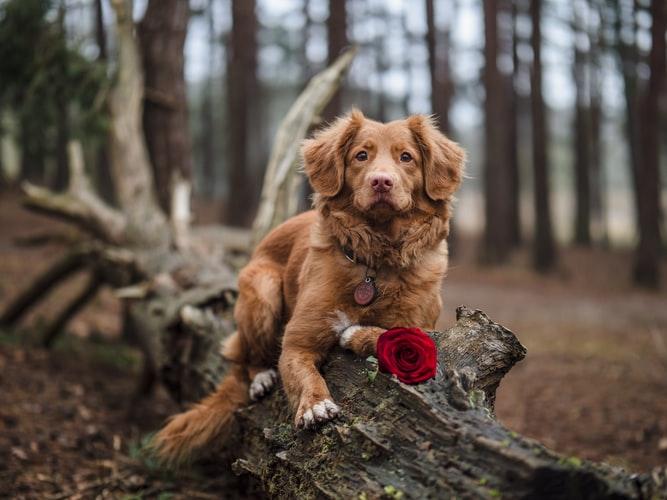 Периоды течки у собак