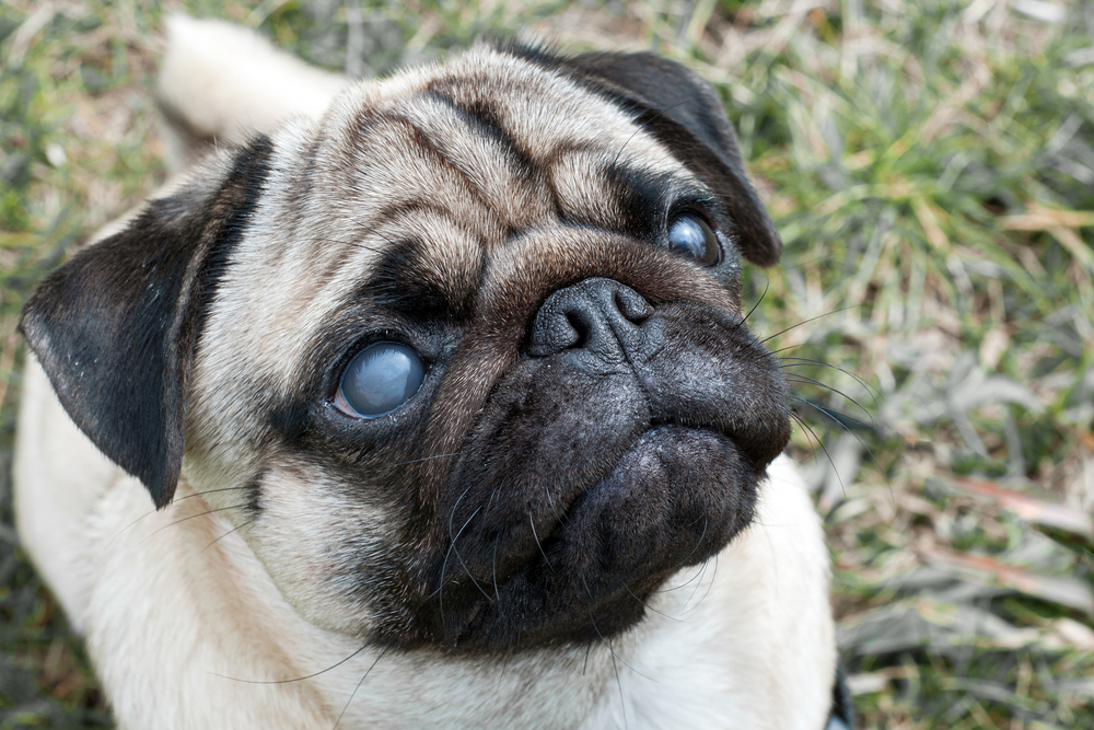 признаки мутных глаз у собаки