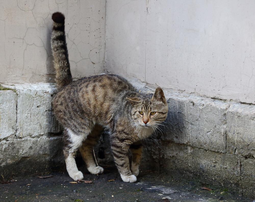 Кот трясет хвостом, когда метит территорию