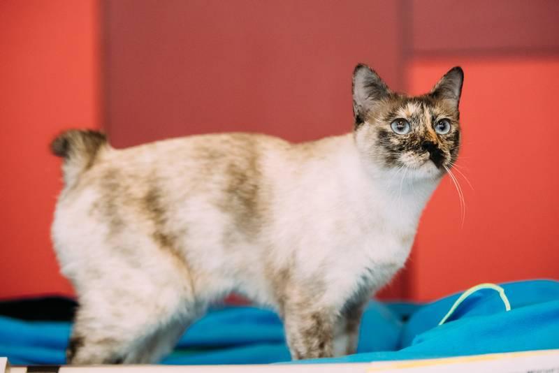 ТОП-10 самых злых пород кошек: меконгский бобтейл