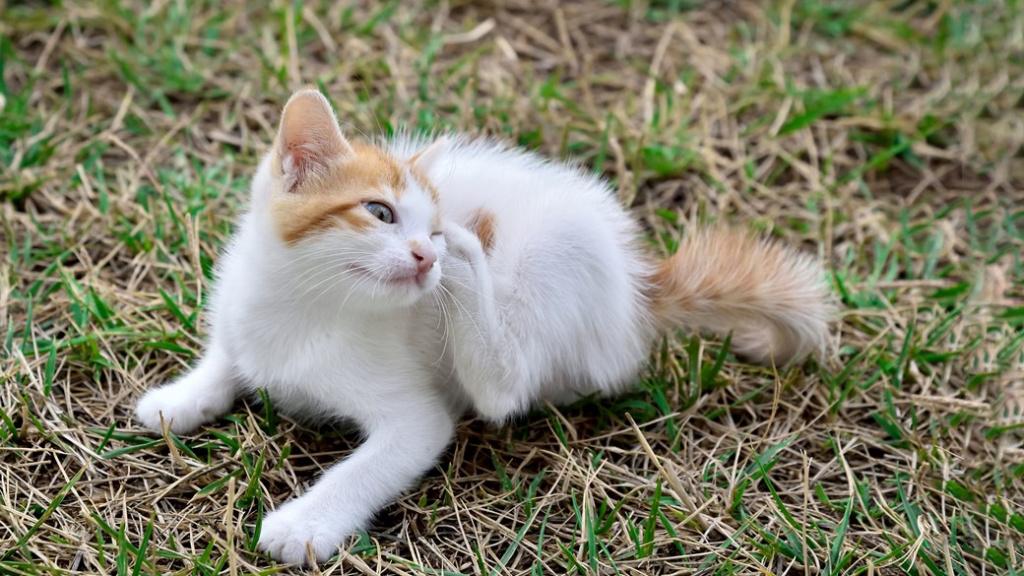 Как избавиться от блох у кошки народными средствами