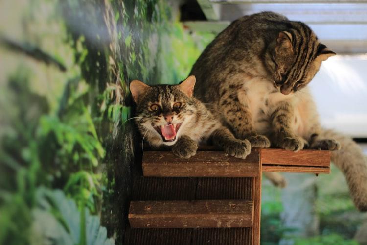 кошки шипят друг на друга при знакомстве