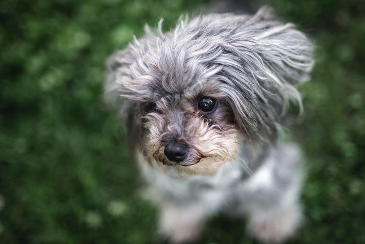 У собаки трясутся задние лапы при низком уровне сахара