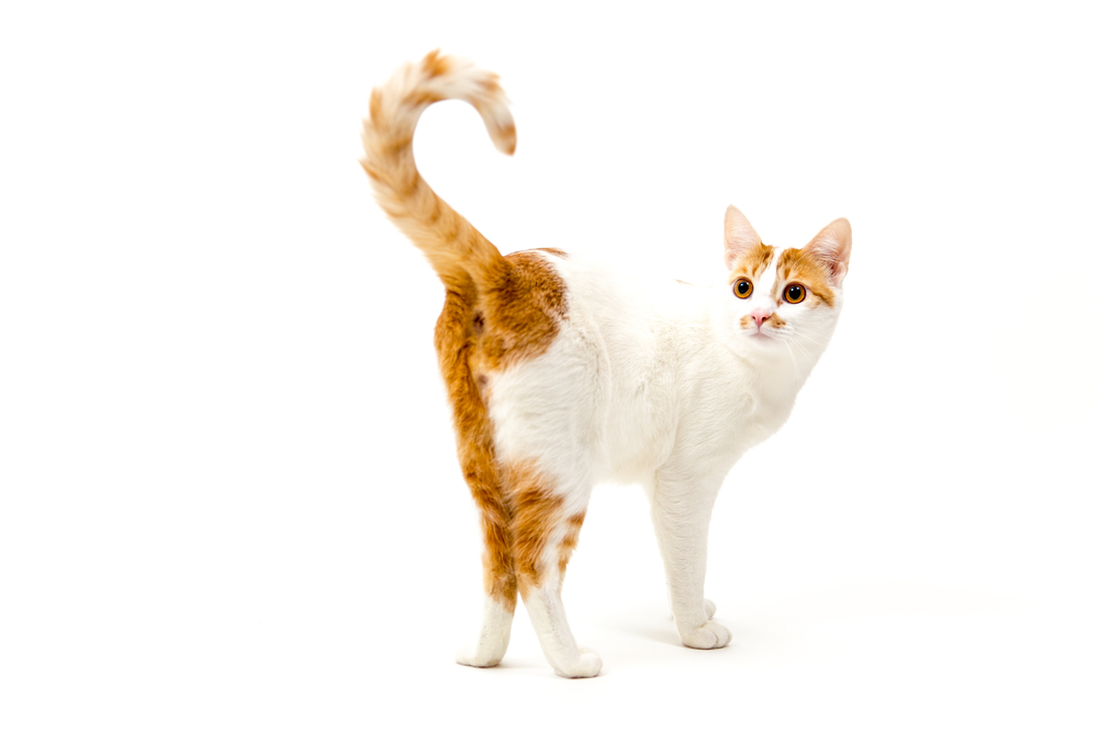 Кот трясет хвостом из-за зуда