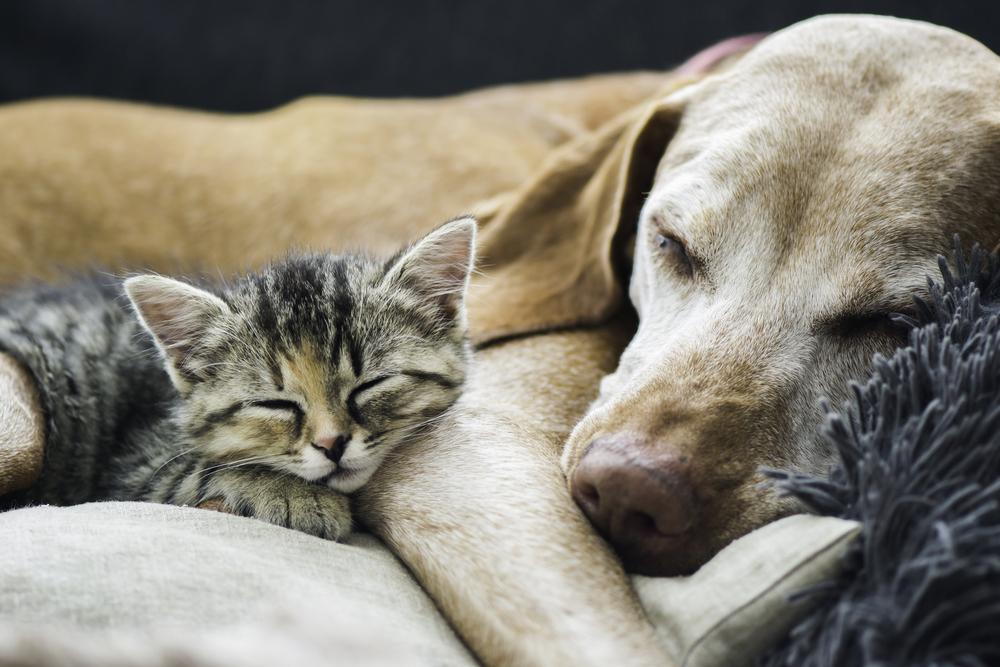Породы собак, которые хорошо уживаются с кошками