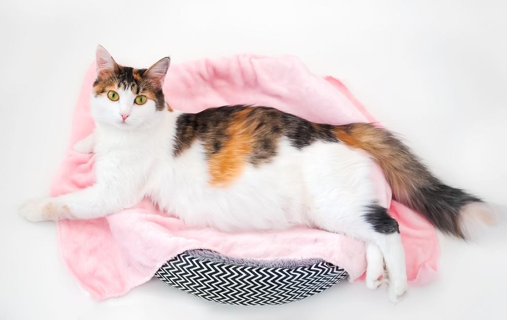 Длительность и признаки беременности у кошки