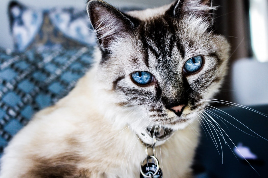 Как предупредить сердечную недостаточность у кошек