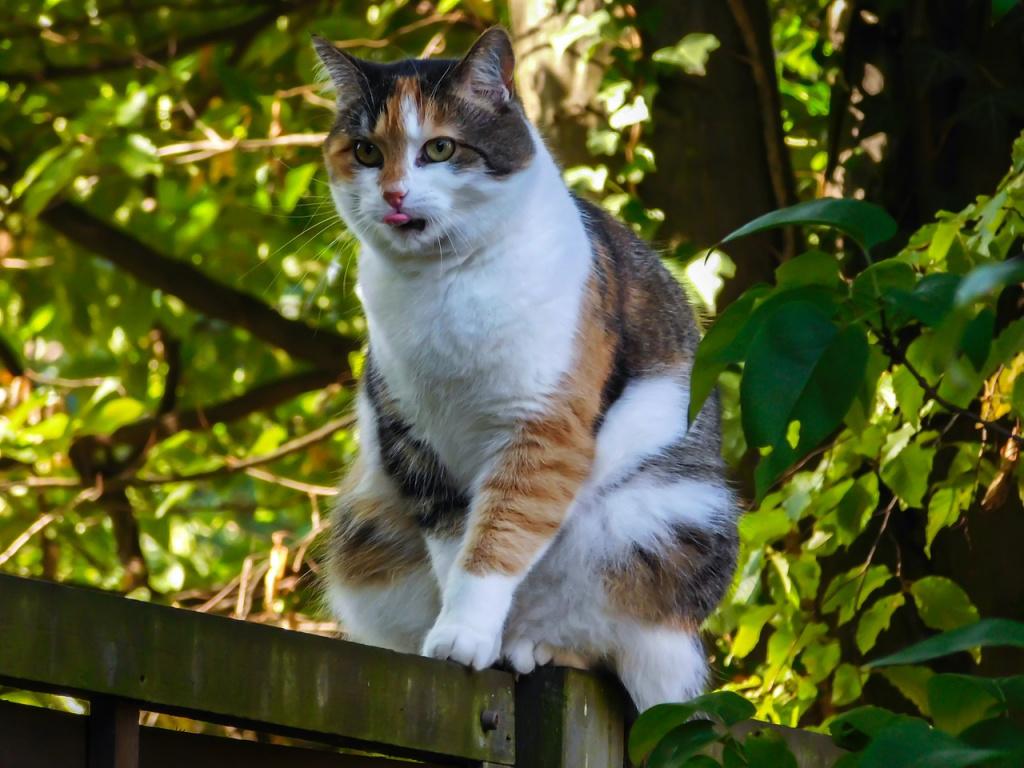 Породы с высокой вероятностью рождения трехцветного кота